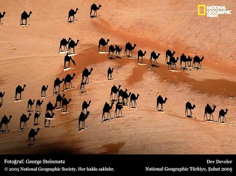 Camellos 2